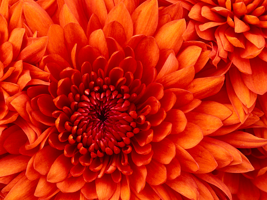 圖片:Chrysanthemum.jpg